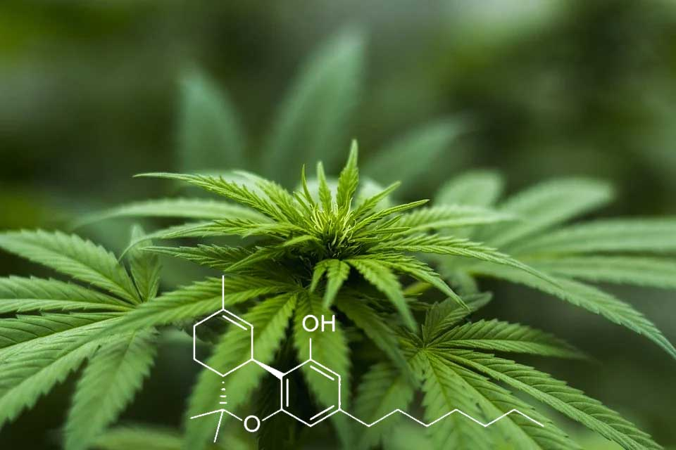 THCP: What is this new cannabinoid and Where to Buy It